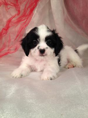 Male Lhasa Bichon Puppy for Sale #2 DOB 3-1-15 $675