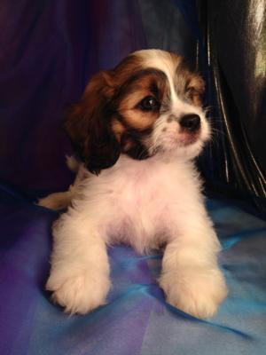 Male Lhasa Bichon Puppy $675 Shipping Available for $250