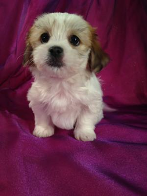 Teddy Bears for sale in Iowa for $675  Puppies are a short