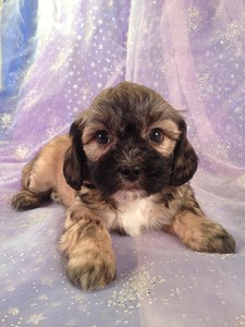 Male/Female Teddy bears|Teddy bear breeders in North Carolina have teddy bear puppies for sale at over $1000|Our Teddy bear price $575!