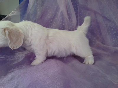 All White Female Lachon puppy for sale #13|Shipping teddy bear puppies to Florida available for only $150|Most US Cities Included