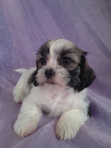 Female Lhasa bichon Teddy bear puppy for sale #11|Teddy bear breeders in Washington DC usually charge more for teddy bears