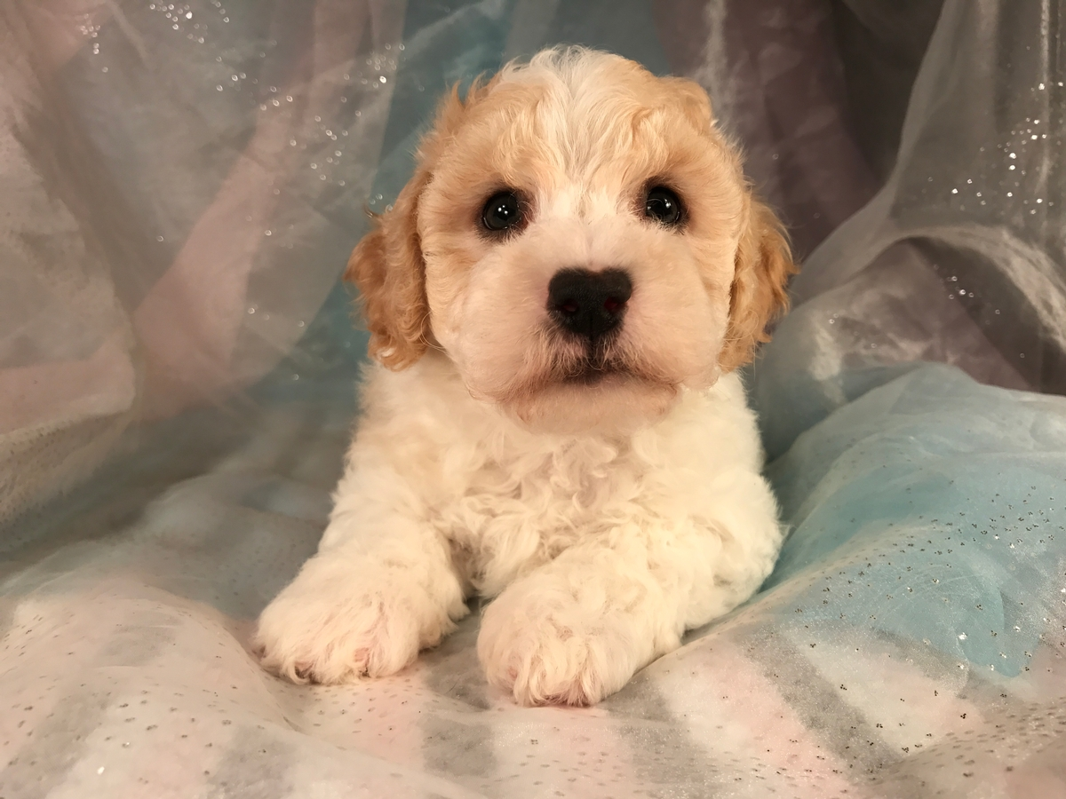 Bichon Poodle Breeder-Apricot and White Male Puppy