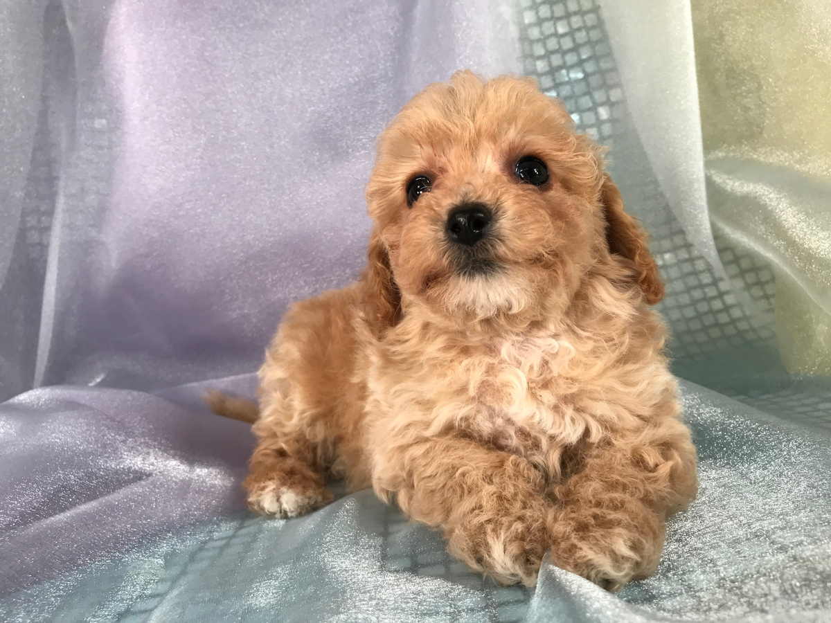 Male Poodle Bichon Puppy for Sale