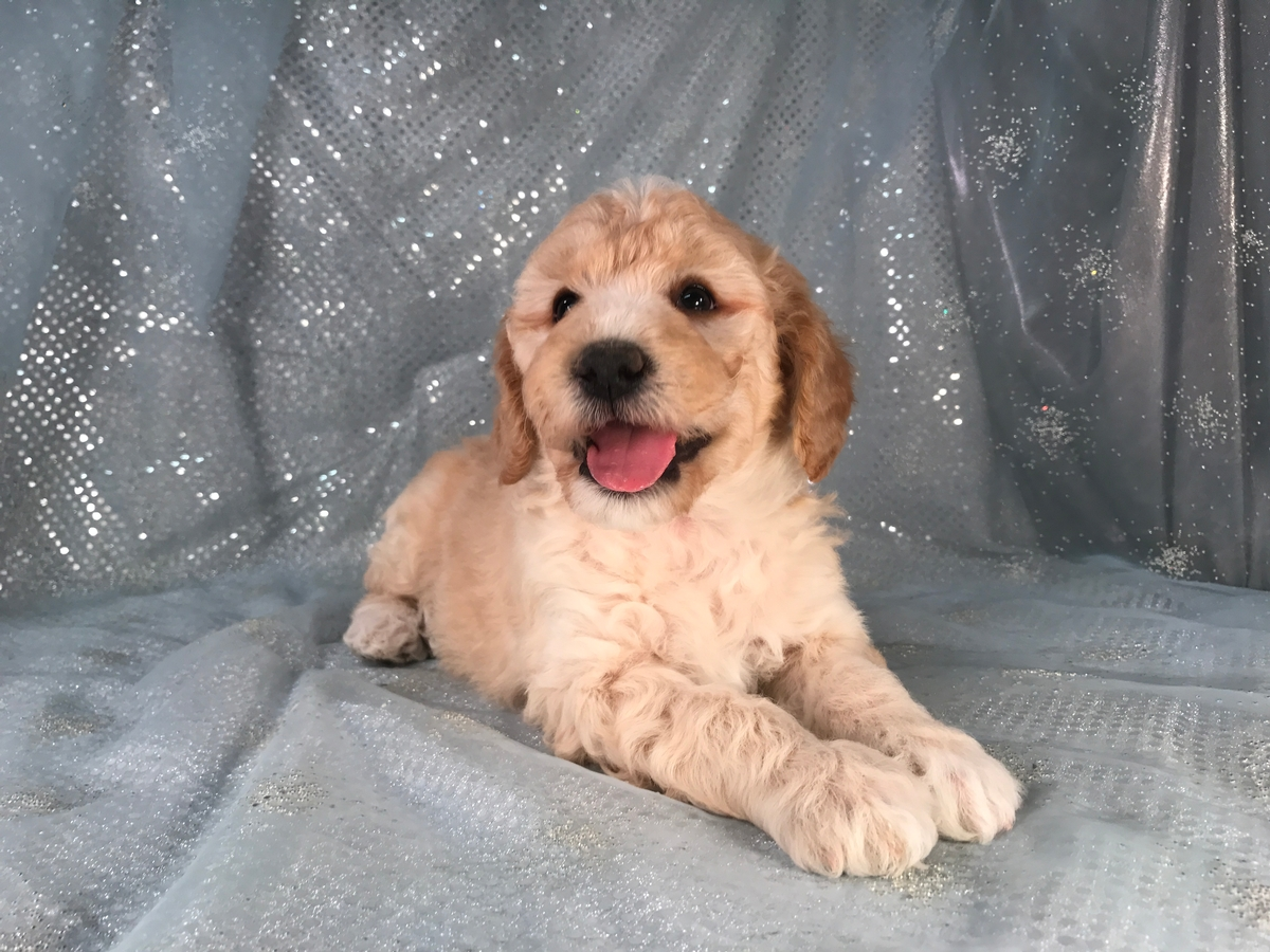 Male Buff Miniature Goldendoodle Puppy for Sale