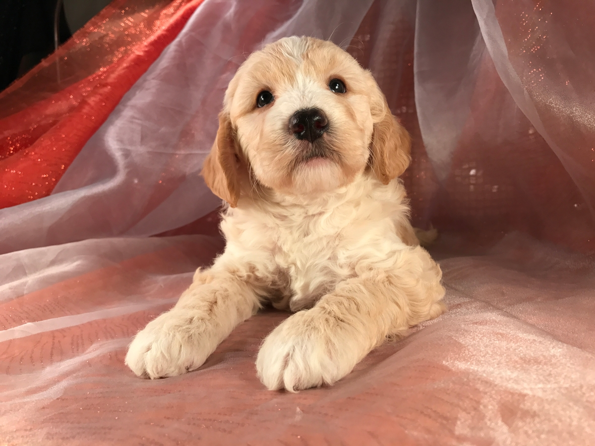 Male Mini Goldendoodle Buff with White Paws
