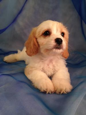 If you live in Minnesota, Iowa, Illinois, or Wisconsin, Brian and Karen Sterrenberg are the perfect dog breeders to show you Cavachons, Teddy Bears, and Cockapoos.