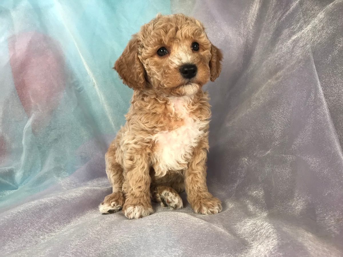 Cockapoo Breeders From Iowa! Male Puppy for Sale!