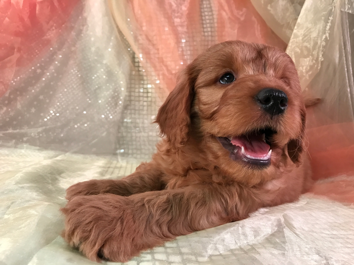 Standard Male Goldendoodle Puppy for sale