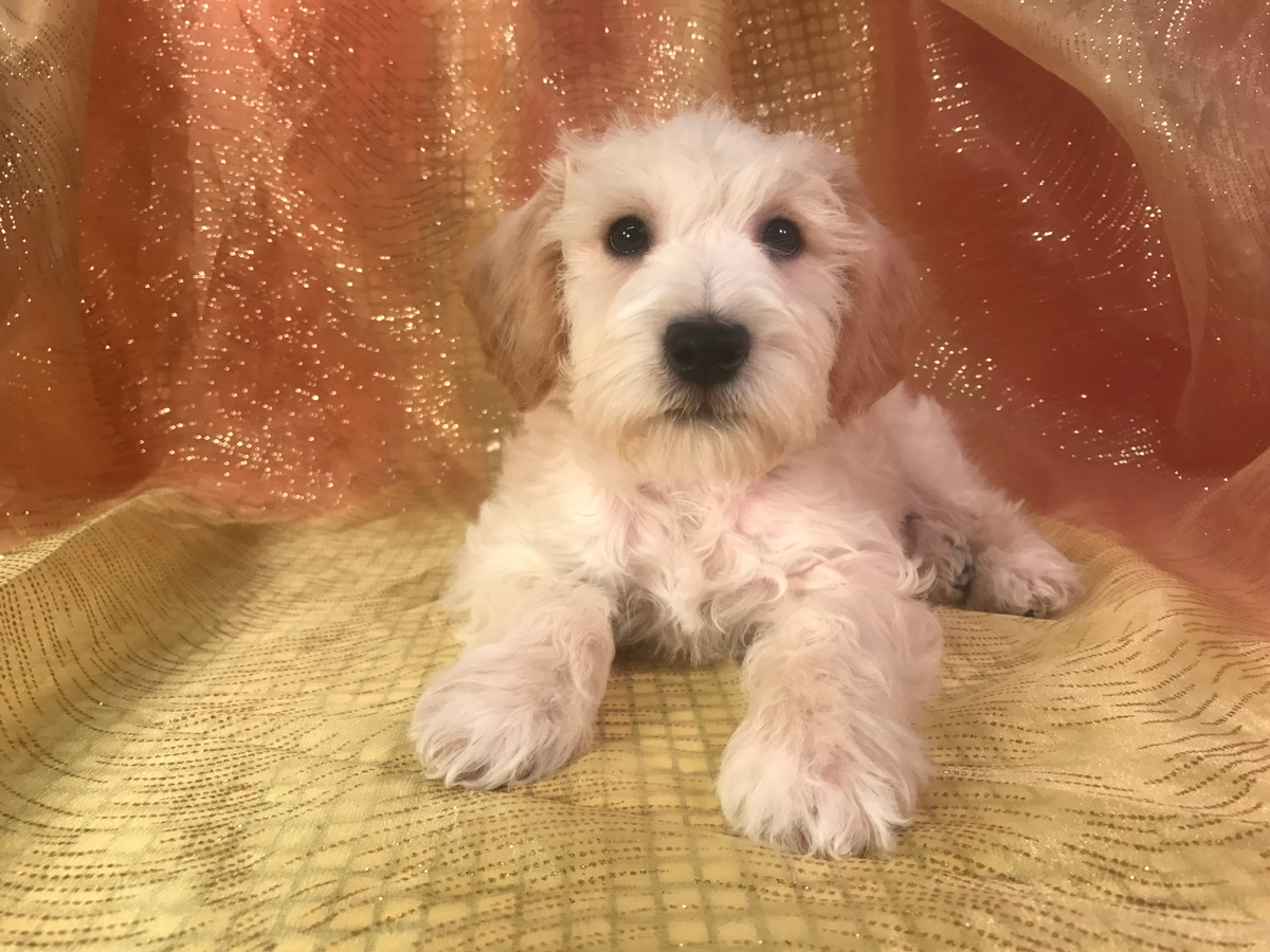 Male Schnoodle Pup for sale $975