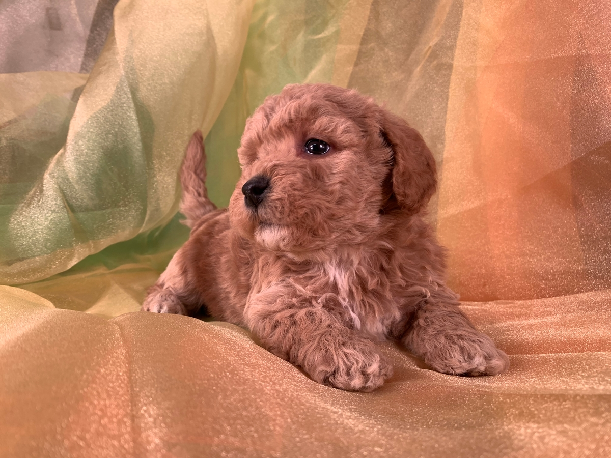 Two Male Bichon Poodle Puppies Available
