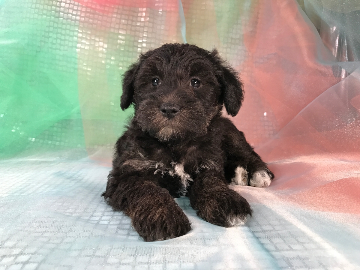 Miniature Schnoodle Puppy for Sale. Black Female $950