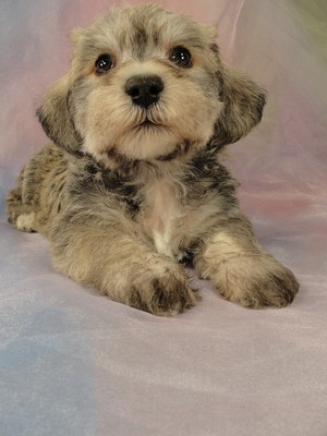 Male schnoodle puppy for sale 30 Born March 20th 2012