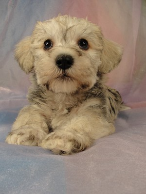 Male schnoodle pup