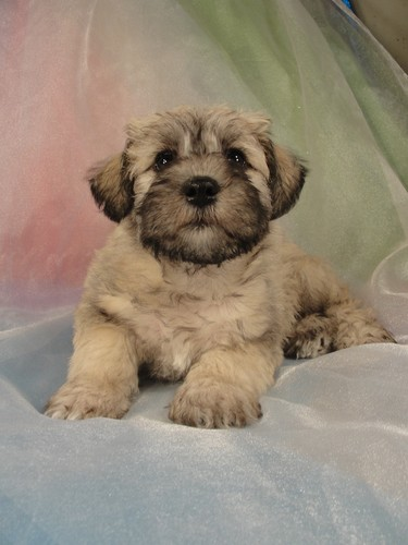 Male Schnoodle puppy for sale #26 Born February 25th 2012