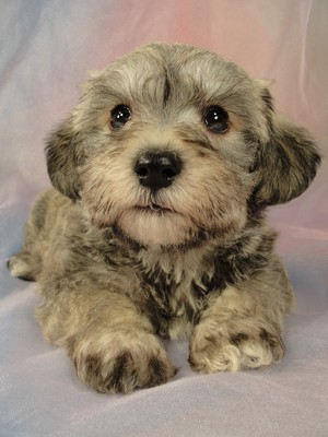 Male schnoodle puppy for sale #28 Born March 20th 2012