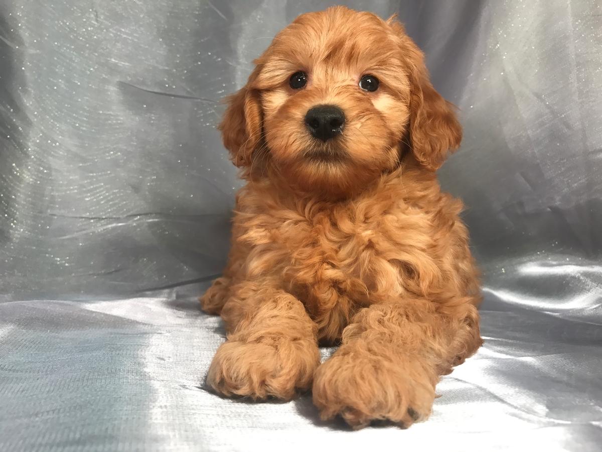 Miniature Goldendoodle Puppies For Sale Breeder In Iowa