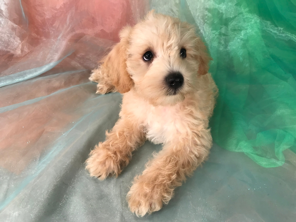 Apricot and White Schnoodle