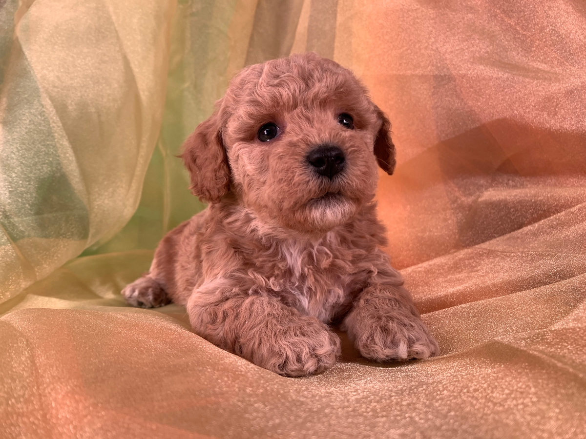 Red Bichon Poodle Puppy, Iowa, Breeder