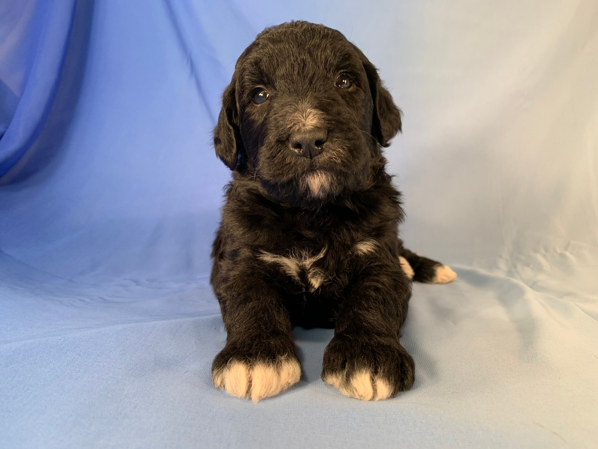 F1 Male Bernedoodle Puppy For Sale In Iowa