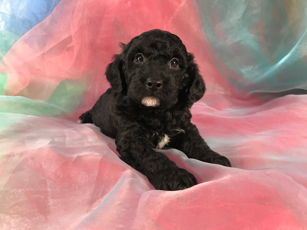 Black and White Miniature Goldendoodle Breeders