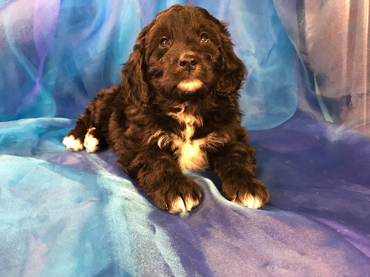 Black And White Male Bernedoodle Puppies For Sale