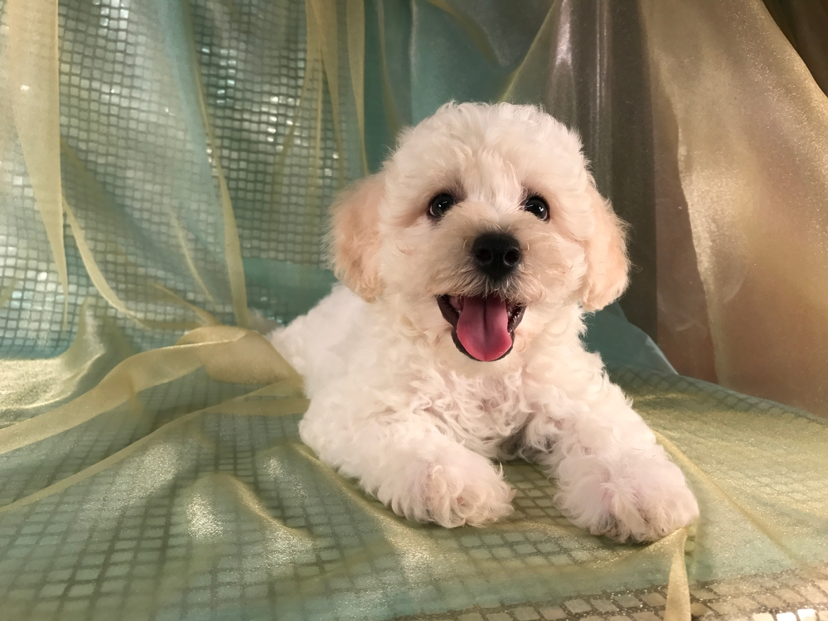 White Male Cavachon Puppy for Sale with Apricot Ears!