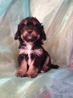 Male Cavachon Puppy for sale $575 Iowa Breeders with Black, Tan, and White Puppies. The Cavachons were born November of 2013.