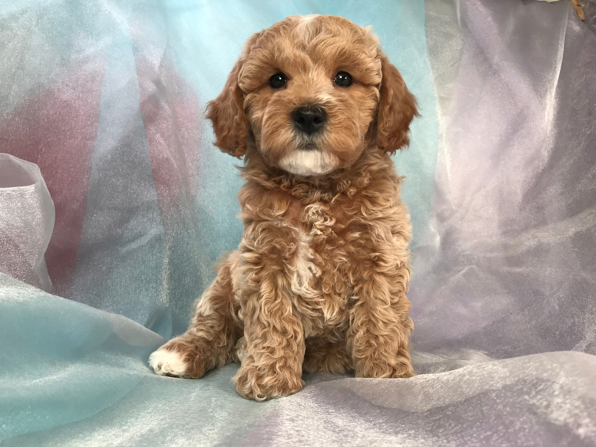 Buff, Red, and Apricot Cockapoo Breeders with Available Puppies!