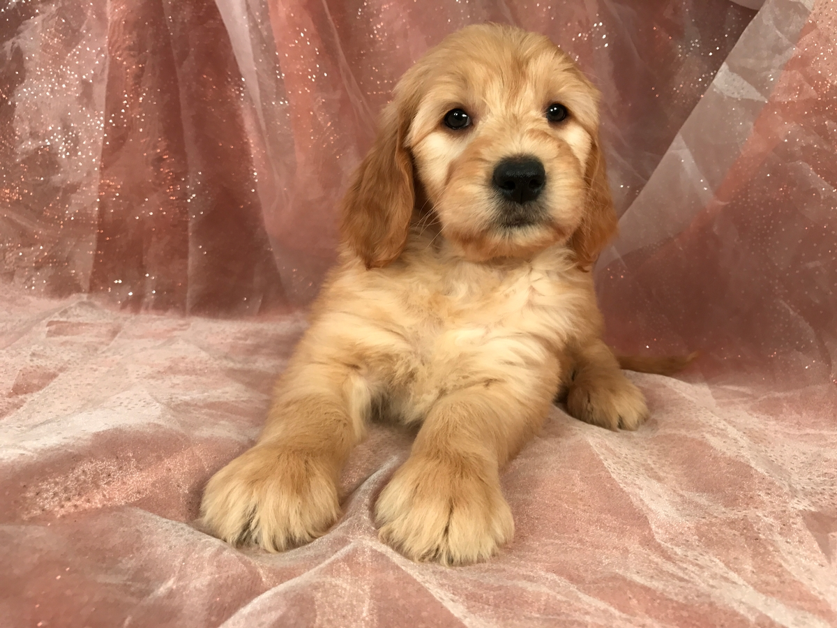 Male Goldendoodle, Ready Soon, DOB 2-2-2018, $950