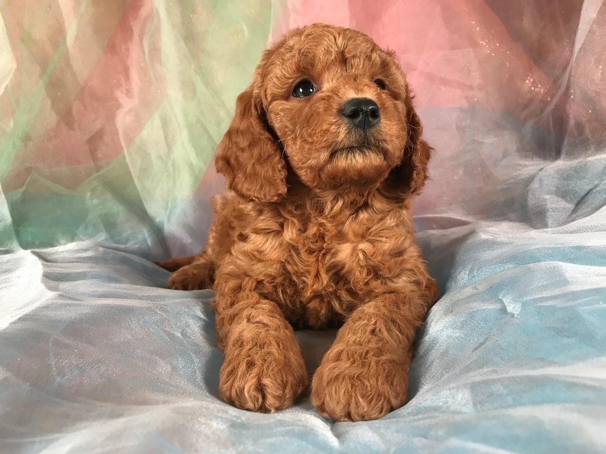 Miniature Goldendoodle Puppy For Sale $1500 Male