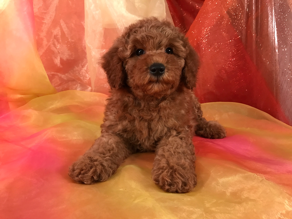 Miniature Gorldendoodle Pup for Sale- Red