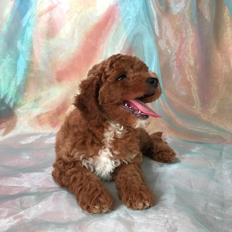 Dark Red Mini Goldendoodle Breeders-Male Born June 5th 2017