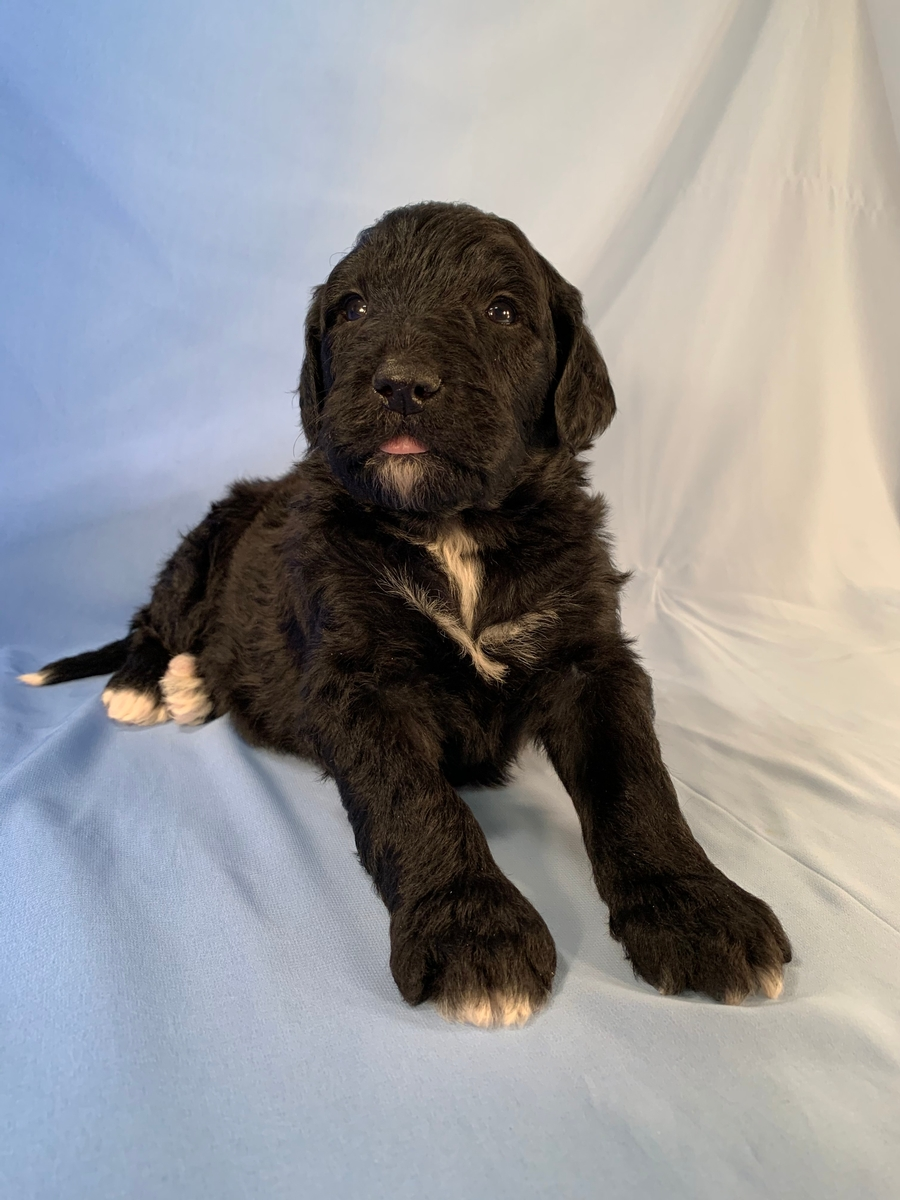 Bernedoodle Pup, Black Male With White Markings DOB 2020-10-11 $1800