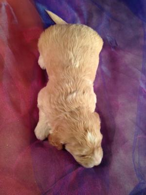 Male F1b Miniature Goldendoodle Puppy for sale #3 Ready by May 2015! 2