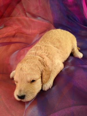 Male Mini Goldendoodle Puppy#4 DOB 2-24-2015 Professional Iowa Breeder with Puppies for sale