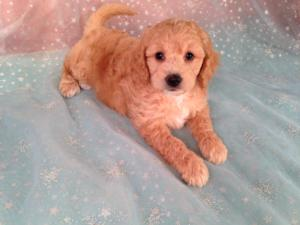 Miniature Goldendoodle Puppies for Sale | Breeder in Iowa