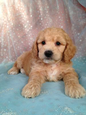 Mini Goldendoodles Bred By Iowas Top Dog Breeder