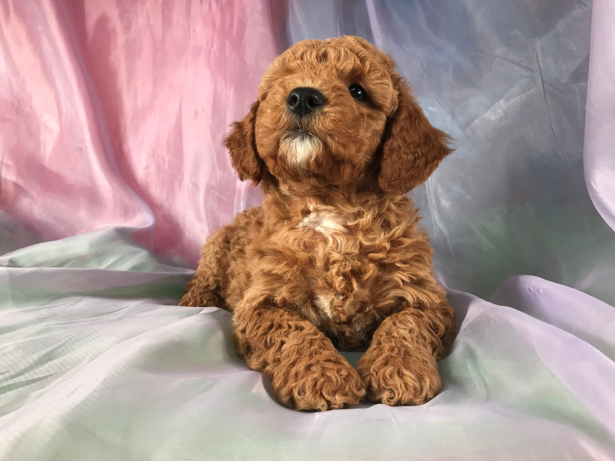 Apricot Miniature Goldendoodle Puppy for Sale in North Iowa DOB 12-31-2019