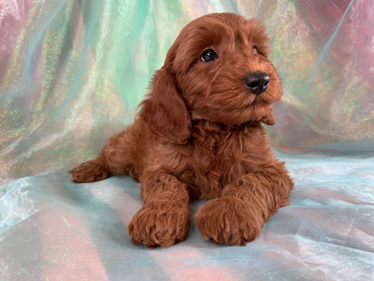 Dark Red Male Mini Goldendoodle Puppy For Sale DOB 9-24-2019 $1500