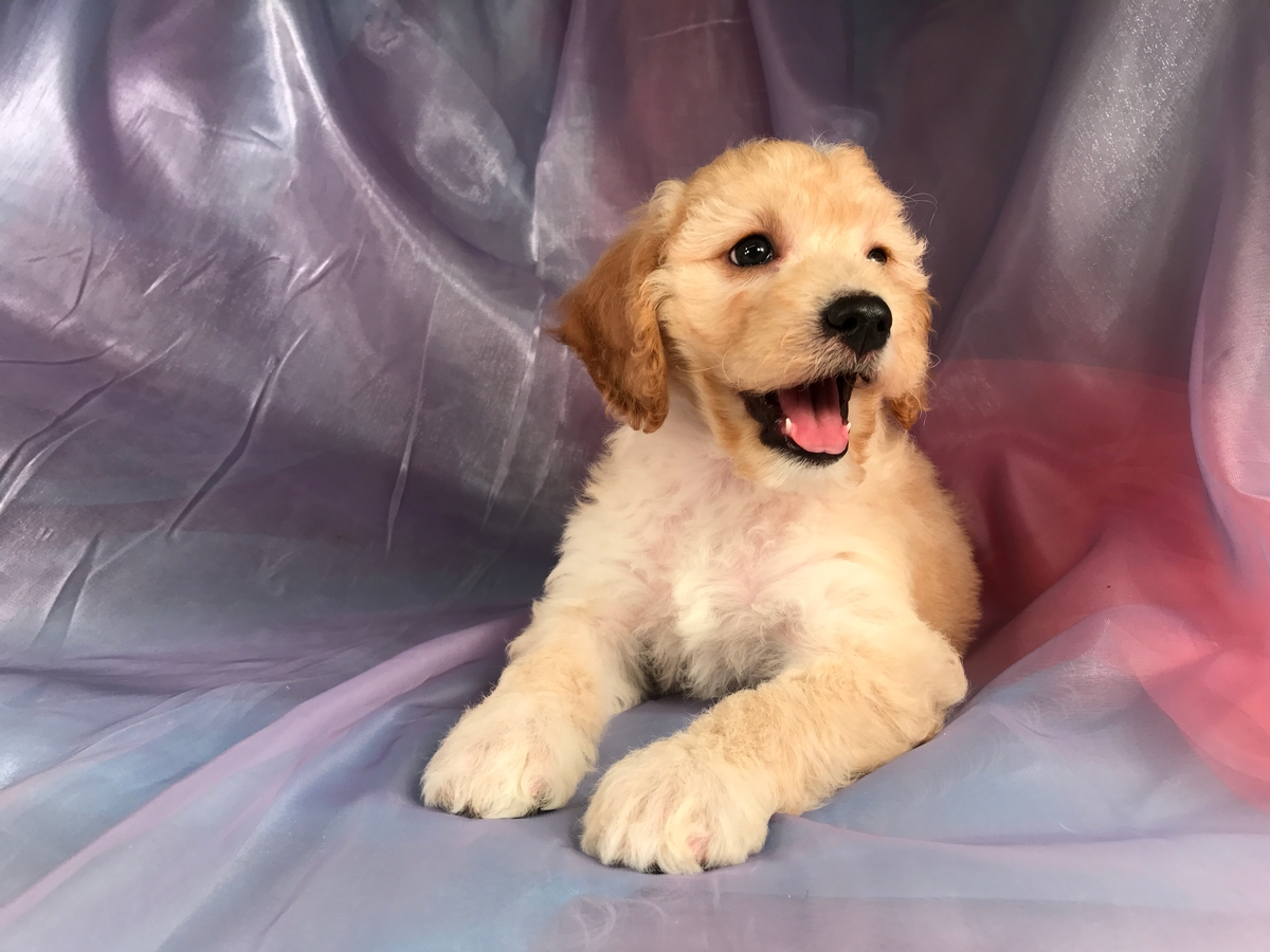 Female Mini Goldendoodle Puppy $1500 DOB 8-9-18