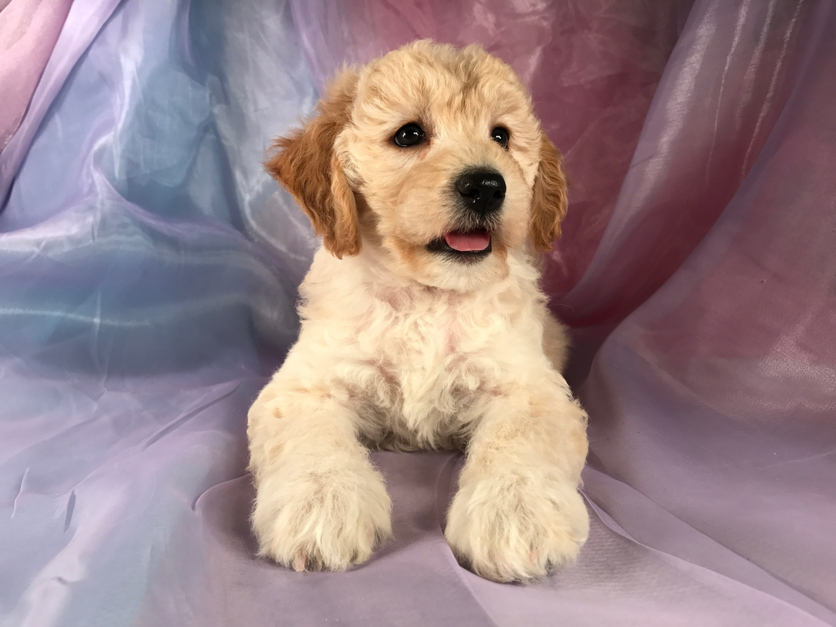 Female Miniature Goldendoodle Puppy for Sale $1500