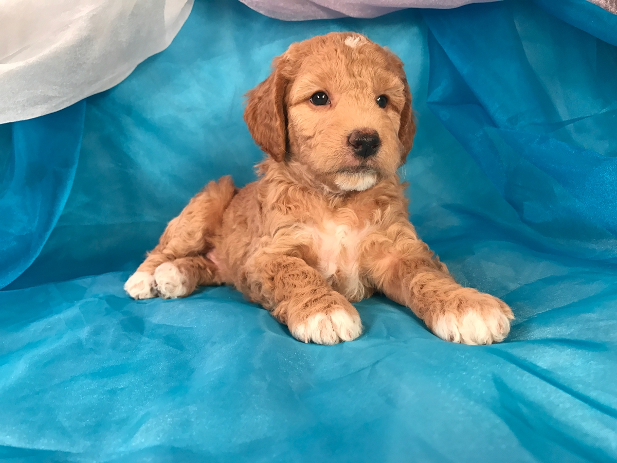 Male Mini Goldendoodle Puppy for Sale DOB 10-29-17 Great Christmas Puppy