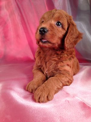 Male Mini Goldendoodle Puppy for sale #2 Born June 10th, 2013|Shipping only $150|Easy to fly pups direct into FL,MD,MA,RI,DC,PA,NC and meny more!