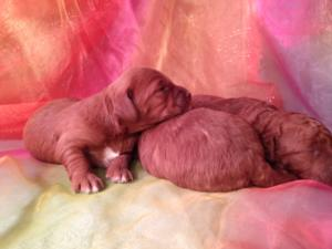 Litter of four Mini Goldendoodle Puppies DOB 12-26-14 for sale $1500 Top breeder in Iowa has puppies born!