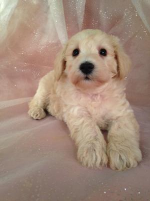Female Mini Cream Schnoodle Puppy Available for $950 Located Near Joice Iowa 50446