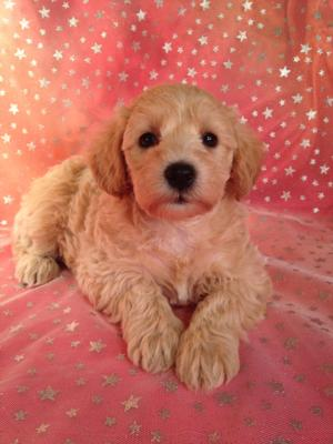 Miniature Apricot Schnoodle Puppy for sale DOB 9-10-2015 Ready November 2015