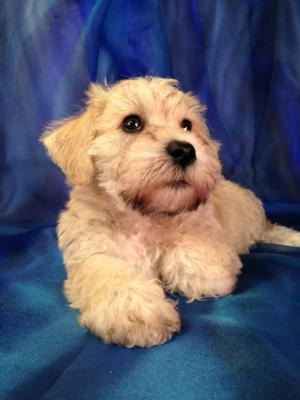 Male Salt and Pepper Schnoodle Puppy for Sale $750 Born August 1st 2015