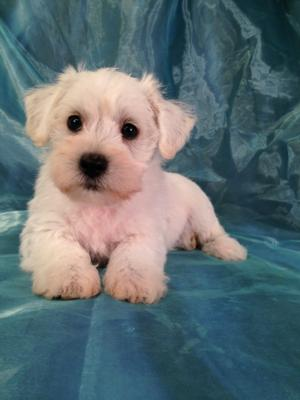 White Miniature Schnoodle Puppy for Sale Near Joice Iowa (50446)