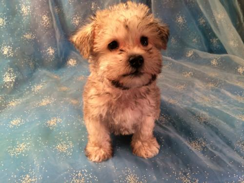 Iowa's top schnoodle breeders have a litter of puppies for sale!